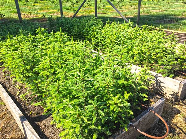 Christmas Tree Seedlings South Surrey White Rock