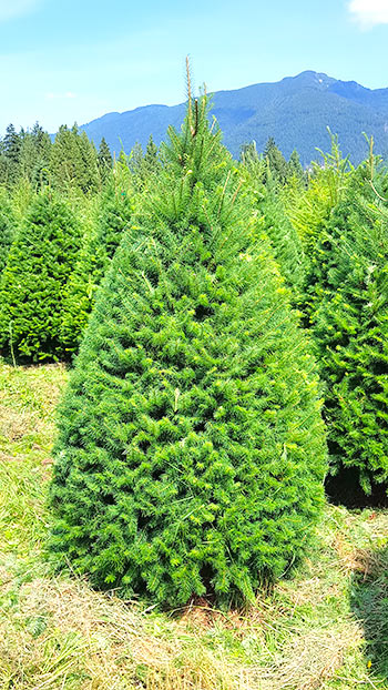 Douglas Fir Christmas Holiday Tree - South Surrey - White Rock